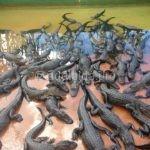 Крокодиловая ферма в Таиланде что, зачем, почему и как
