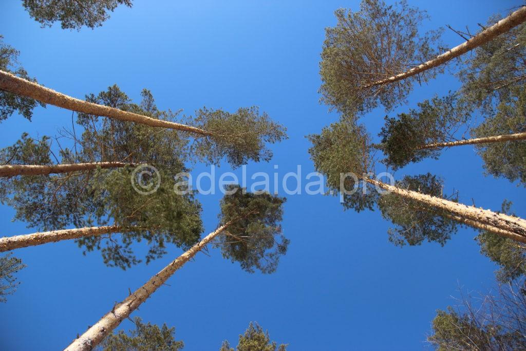 стройные и высокие стволы упираются прямо в небо своими пышными кронами