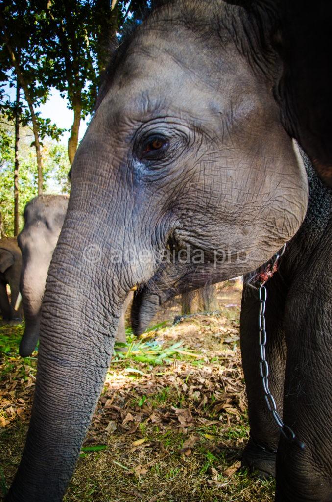 Слон в королевстве священное животное