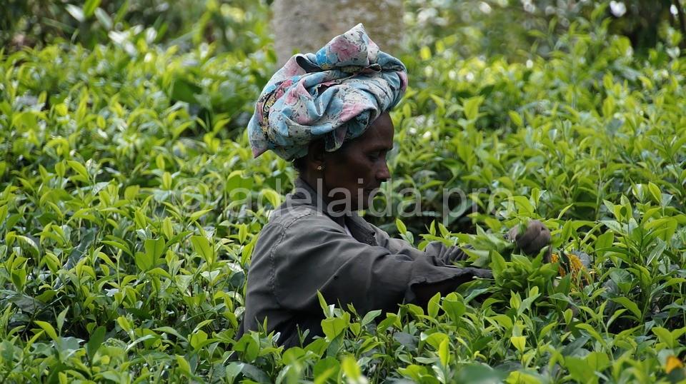 красоты чайных плантаций