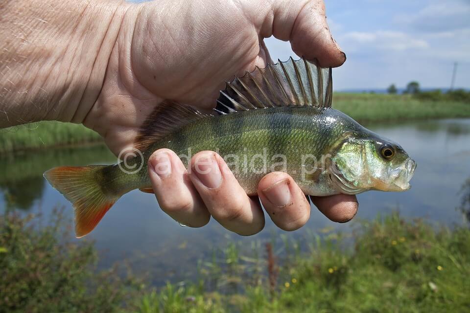 Отправляемся на рыбалку за окунем